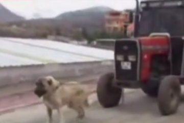 chien capable de tirer un tracteur